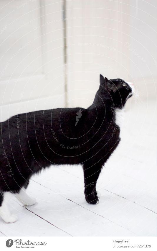 Samtpfoten Haustier Katze 1 Tier beobachten Hauskatze Neugier Blick weiß Pfote Ohr warten hell Parkett Farbfoto Gedeckte Farben Innenaufnahme Textfreiraum oben