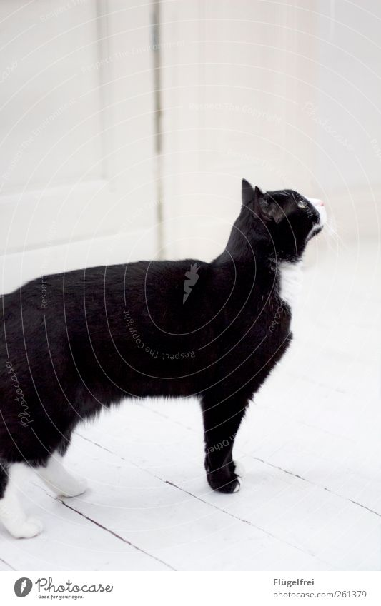 Samtpfoten Katze weiß Tier hell warten Ohr beobachten Neugier Haustier Pfote Parkett Hauskatze