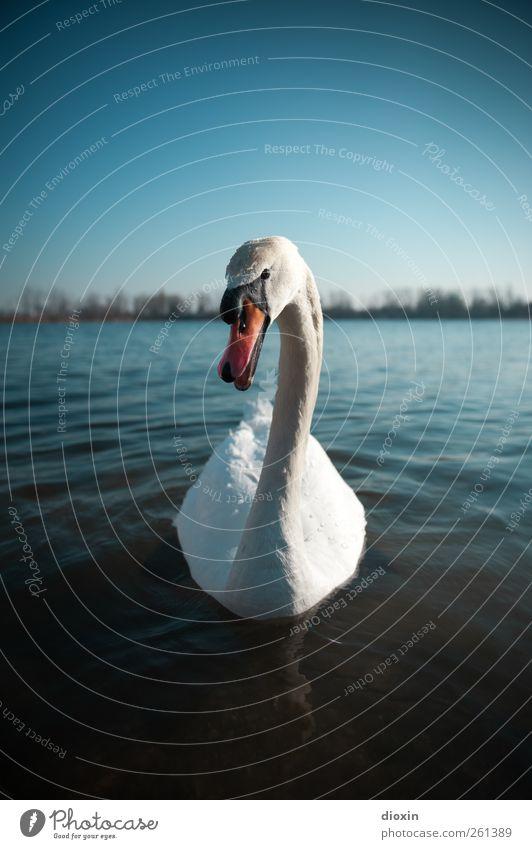 Cygnus olor Himmel Natur blau Wasser weiß schön rot Tier Umwelt See Vogel Schwimmen & Baden Wildtier natürlich Schönes Wetter Seeufer