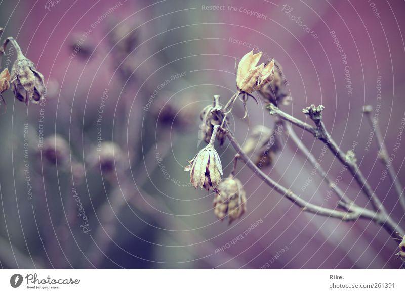 Winterschlaf. Natur alt Pflanze Winter Blume Blatt Umwelt Herbst kalt Garten Blüte Traurigkeit wild Sträucher Vergänglichkeit Müdigkeit