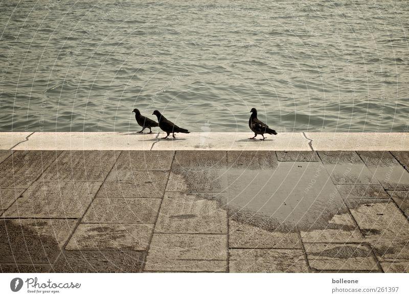 Hilfe, wir werden verfolgt Ferien & Urlaub & Reisen Sommer Tier Regen braun laufen Wildtier Tourismus Tiergruppe Italien Verliebtheit Taube Venedig Verfolgung