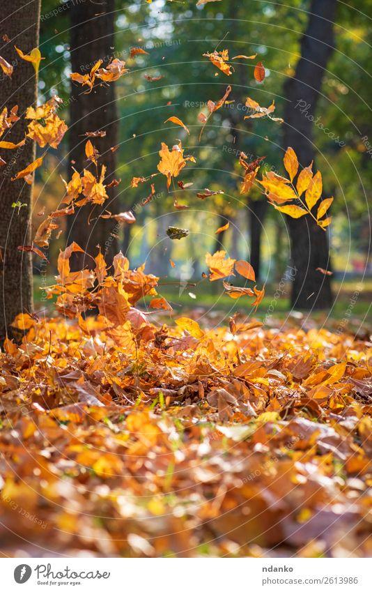 fallende gelbe Ahornblätter Sonne Umwelt Natur Pflanze Herbst Baum Blatt Park Wald Bewegung Ferien & Urlaub & Reisen hell natürlich gold grün Farbe Idylle
