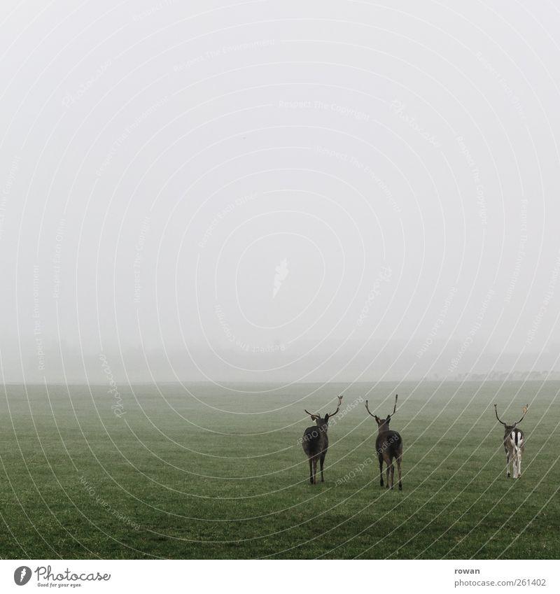zu dritt Landschaft Pflanze Tier Wetter schlechtes Wetter Nebel Gras Wiese Feld Wildtier Zoo 3 Tiergruppe Tierfamilie kalt Ferne Zusammensein Zusammenhalt Reh