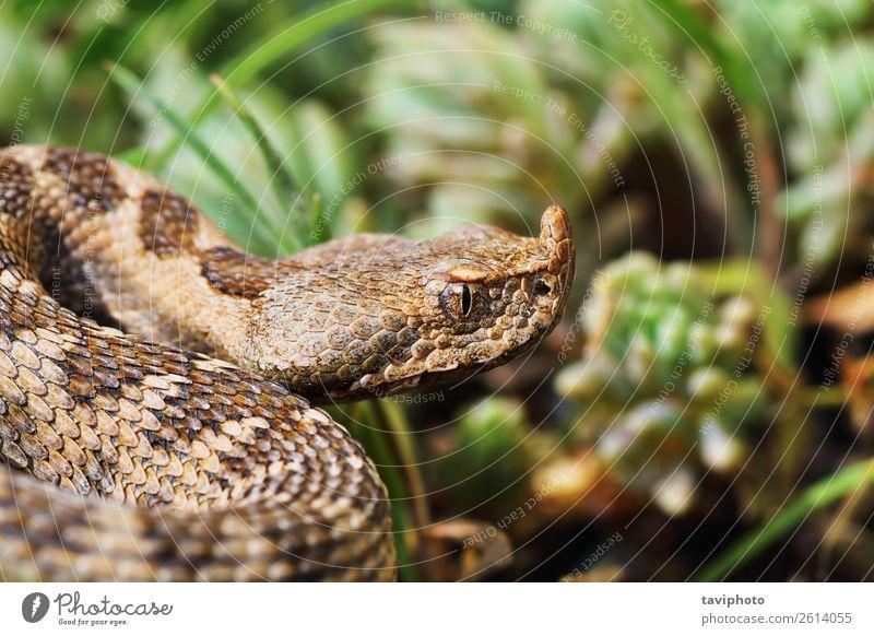 Nahaufnahme der schönen und gefährlichen europäischen Nasenhörnchen-Viper Natur Tier Sand Schlange groß gruselig natürlich wild braun Angst Europäer Natter
