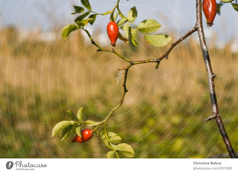 Hagebutten Natur Pflanze Erholung rot Blatt Herbst Lebensmittel Frucht Feld Ernährung Sträucher Ausflug Schönes Wetter Wohlgefühl harmonisch Tee