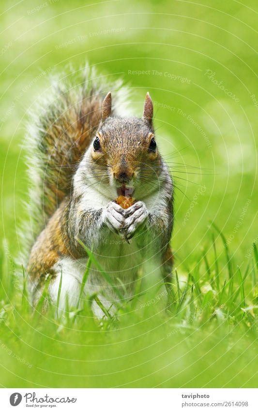 süße graue Eichhörnchen essende Nuss Essen schön Gesicht Garten Natur Tier Herbst Park Wald Pelzmantel klein natürlich niedlich wild braun grün Ischias
