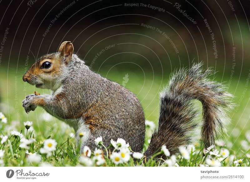 süßes graues Eichhörnchen isst auf dem Rasen Essen schön Garten Natur Tier Gras Park Wiese Wald Pelzmantel füttern stehen klein lustig natürlich niedlich wild