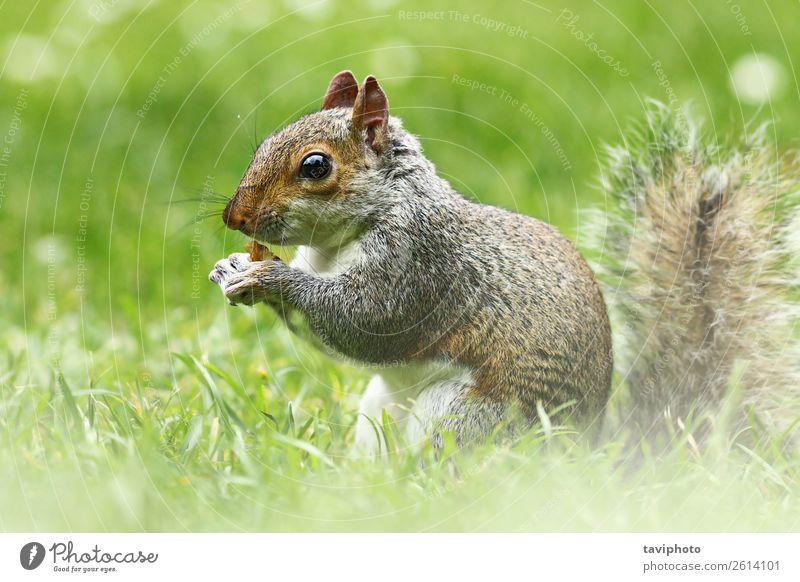 süßes graues Eichhörnchen im Gras Essen schön Garten Natur Tier Park Wald Pelzmantel Wildtier füttern sitzen klein lustig natürlich niedlich wild braun grün