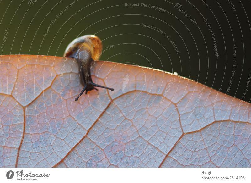 sie gibt nicht auf ... Umwelt Natur Pflanze Tier Sonnenlicht Herbst Blatt Park Schnecke 1 Tierjunges festhalten außergewöhnlich einzigartig klein natürlich