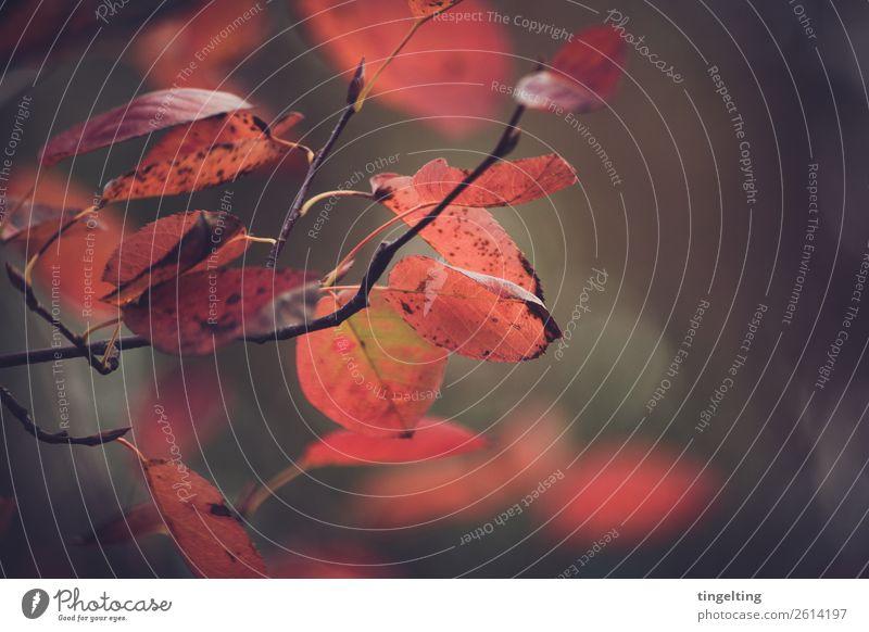 Herbst Umwelt Natur Pflanze Baum Blatt Wald hängen verblüht dehydrieren braun rot schwarz Ast Zweige u. Äste Farbfoto Gedeckte Farben Außenaufnahme