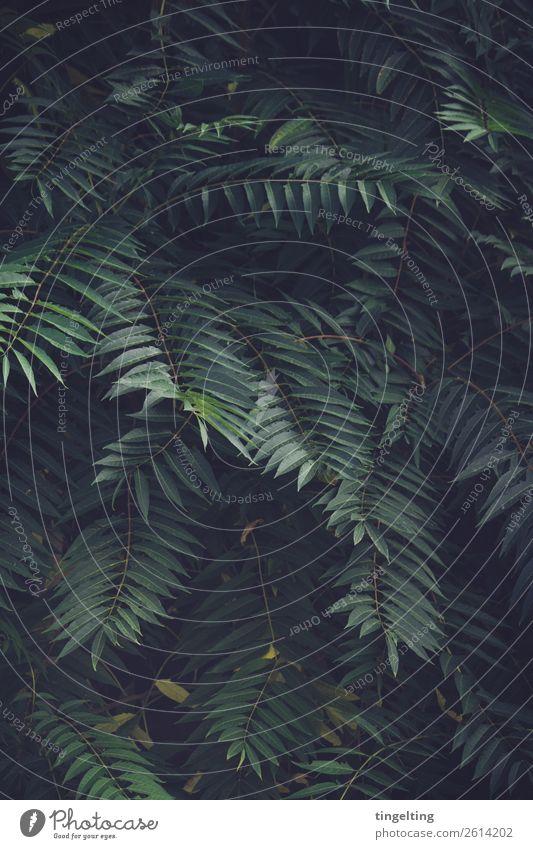 Urwald Umwelt Natur Pflanze Blatt Grünpflanze Wildpflanze exotisch Feld atmen grün Hintergrundbild dunkel Unterholz Palme Farbfoto Gedeckte Farben Außenaufnahme