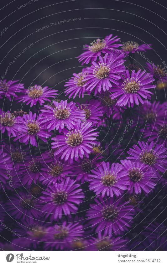 Lila Blüten Umwelt Natur Pflanze Blume Garten Blühend violett viele Vorgarten purpur Stimmung Farbfoto Gedeckte Farben Außenaufnahme Textfreiraum oben