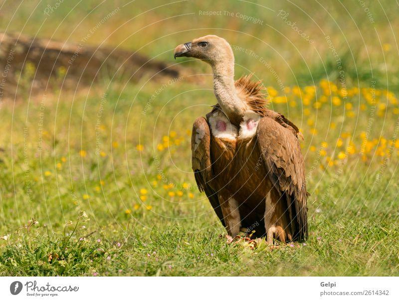 Porträt eines jungen Geiers in der Natur Gesicht Zoo Tier Vogel alt stehen groß natürlich stark wild blau braun schwarz weiß Tierwelt Aasfresser Schnabel Kopf