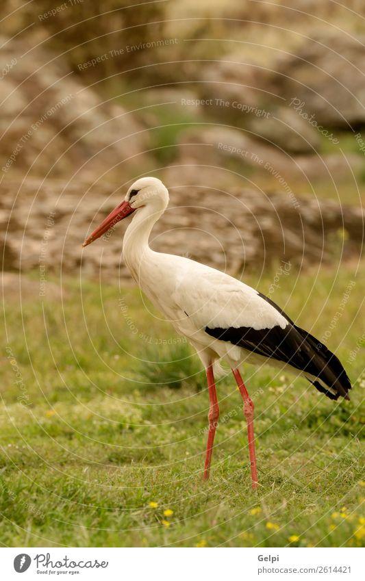 Eleganter Weißstorch beim Wandern auf dem Feld elegant schön Freiheit Paar Erwachsene Natur Tier Wind Blume Gras Vogel fliegen lang wild blau grün rot schwarz