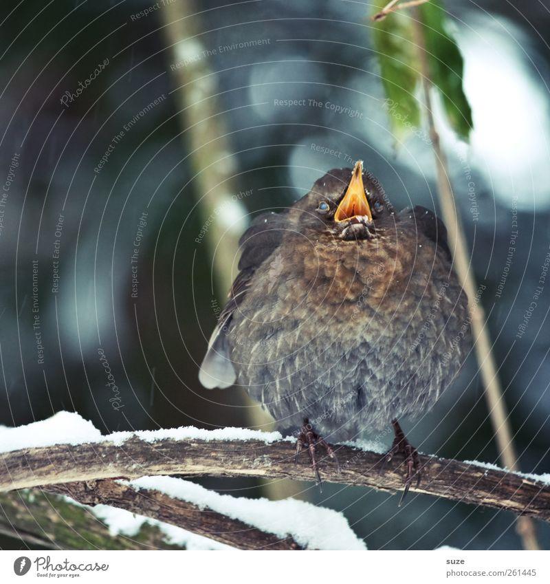 Mamaaahaa Umwelt Natur Tier Winter Schnee Wildtier Vogel 1 Tierjunges schreien authentisch dick lustig niedlich Amsel Ast Zweig Feder Schnabel Schreihals