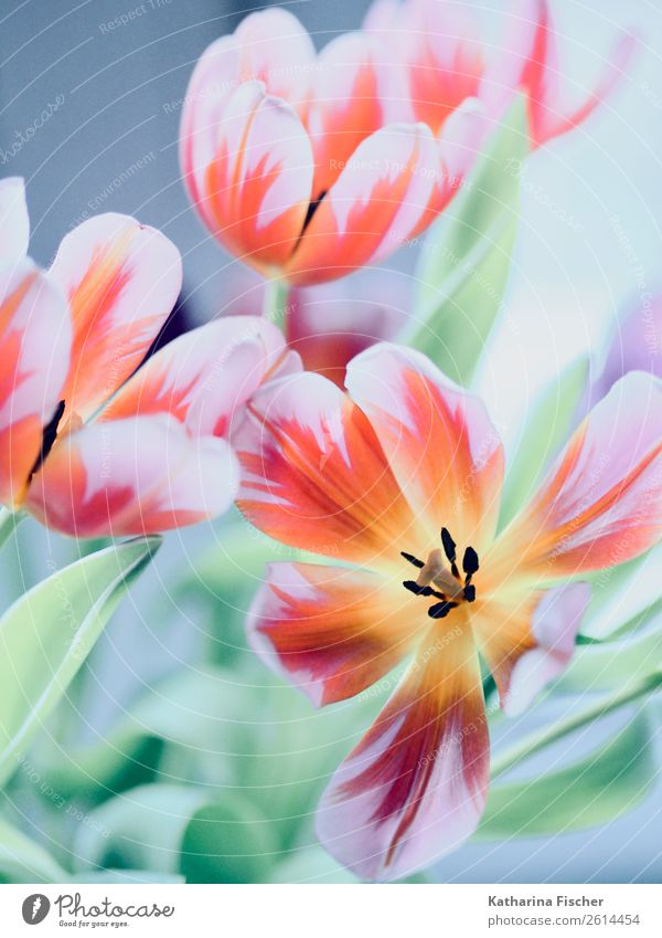 Tulpen im Herbst Pflanze Blühend blau braun mehrfarbig gelb gold violett orange rosa rot schwarz türkis weiß Blumenstrauß Geschenk Blüte Blütenblatt Farbfoto