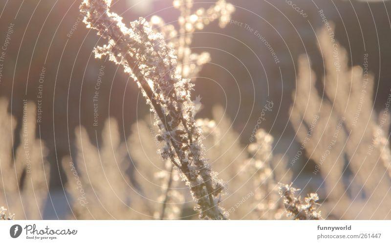 Winterlicht Natur Pflanze Sonnenlicht Schönes Wetter Eis Frost Gras Sträucher Stadtrand Menschenleer Erholung leuchten ästhetisch kalt gold Gefühle Vertrauen