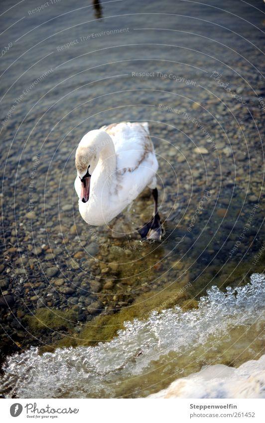 stapfender Schwan. Jungschwan. weiß Wasser Tier Winter kalt Tierjunges Küste grau Schwimmen & Baden Stein gehen braun Eis Wellen Flügel Seeufer