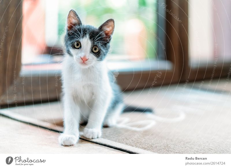 Süßes Baby Katzenporträt zu Hause Tier Haustier Tiergesicht Tierjunges sitzen klein lustig niedlich grau weiß Katzenbaby Hintergrund heimisch reizvoll Tabby