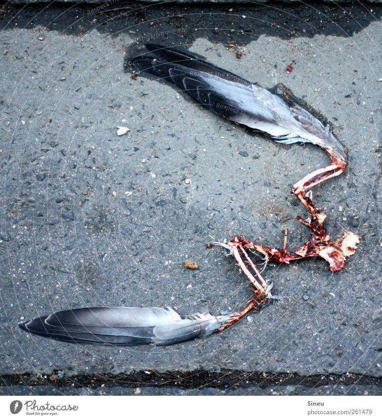 Geier Sturzflug Asphalt Bürgersteig Tier Totes Tier Vogel Taube Feder Skelett Flügel 1 Fressen Traurigkeit Ekel kalt nass Trauer Tod Angst Beginn Einsamkeit