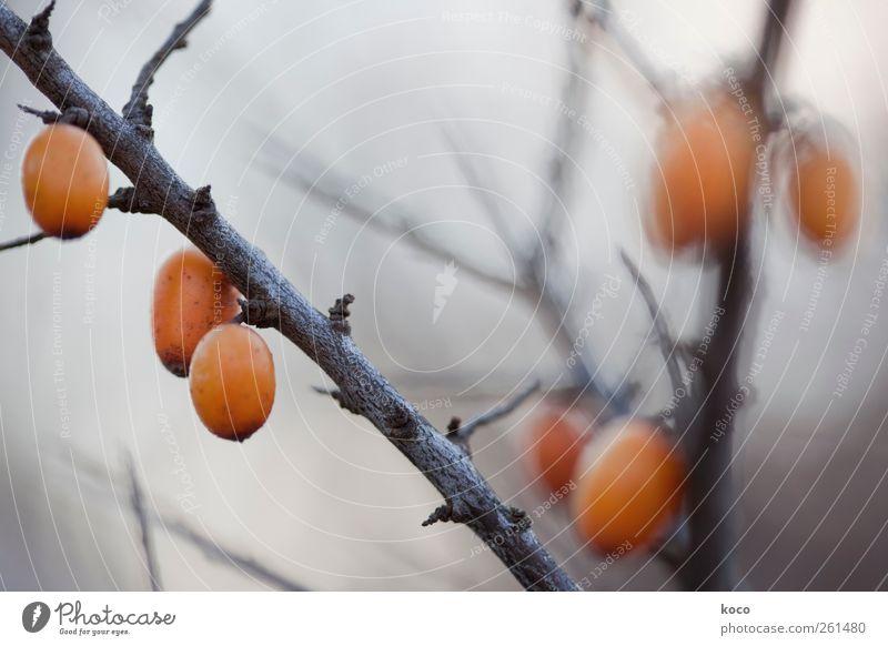 Vitamin C Umwelt Natur Pflanze Herbst Winter Nebel Sträucher Sanddorn Frucht Holz hängen Wachstum bedrohlich dunkel sauer Spitze stachelig braun gelb grau rot