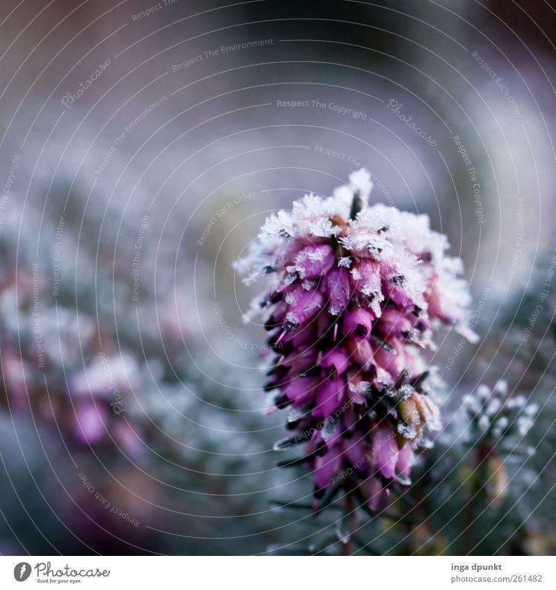 Schneeheide Umwelt Natur Landschaft Pflanze Urelemente Winter Eis Frost Sträucher Grünpflanze Wildpflanze Heide Heidekrautgewächse dunkel einfach kalt Reinheit