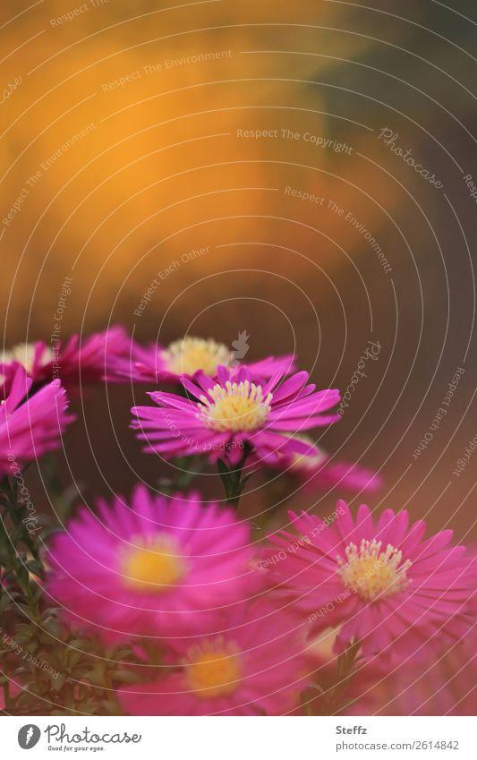 Mittagsblume Umwelt Natur Pflanze Herbst Blume Sträucher Blüte Mittagsblumen Blütenblatt Gartenpflanzen Gartenblume Stauden Park Blühend schön violett orange