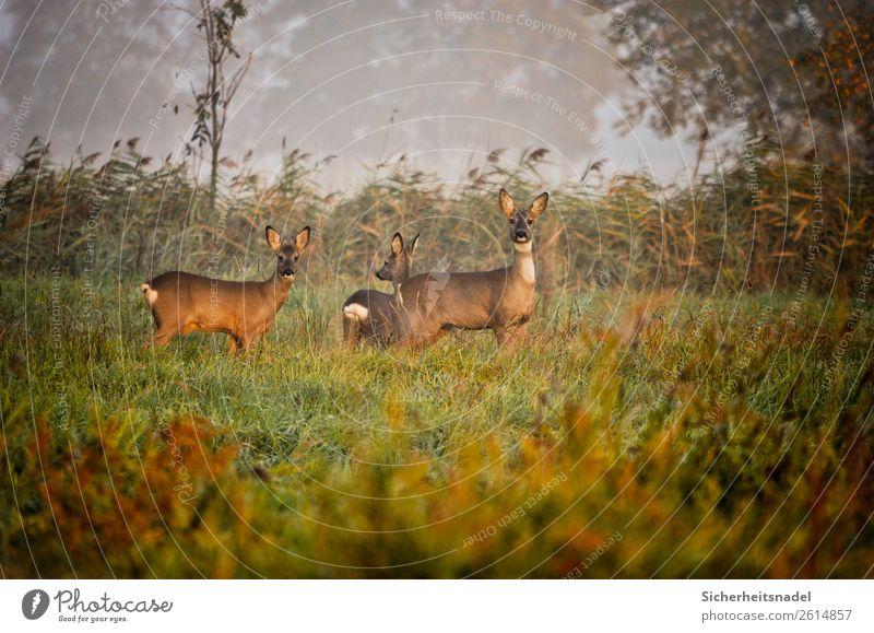 Drei neugierige Rehe Natur Herbst Feld Tier Wildtier 3 Herde Neugier Farbfoto Außenaufnahme Menschenleer Morgen Totale Tierporträt Blick in die Kamera