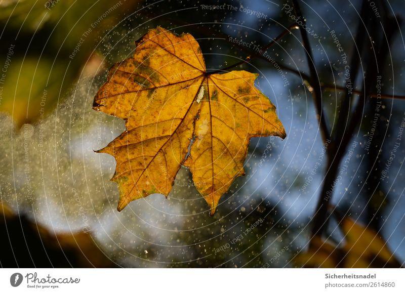 Herbstblatt bei Nieselregen Natur Wassertropfen Sonnenaufgang Sonnenuntergang Regen Pflanze Baum Blatt Ahorn Wald leuchten Herbstlaub Oktober Farbfoto