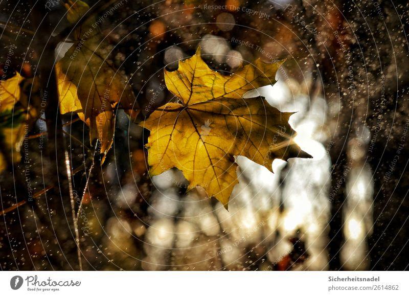 Ahornblatt Gegenlicht Natur Wassertropfen Sonnenaufgang Sonnenuntergang Herbst Schönes Wetter Regen Pflanze Baum Blatt Wald dehydrieren gelb gold Nieselregen