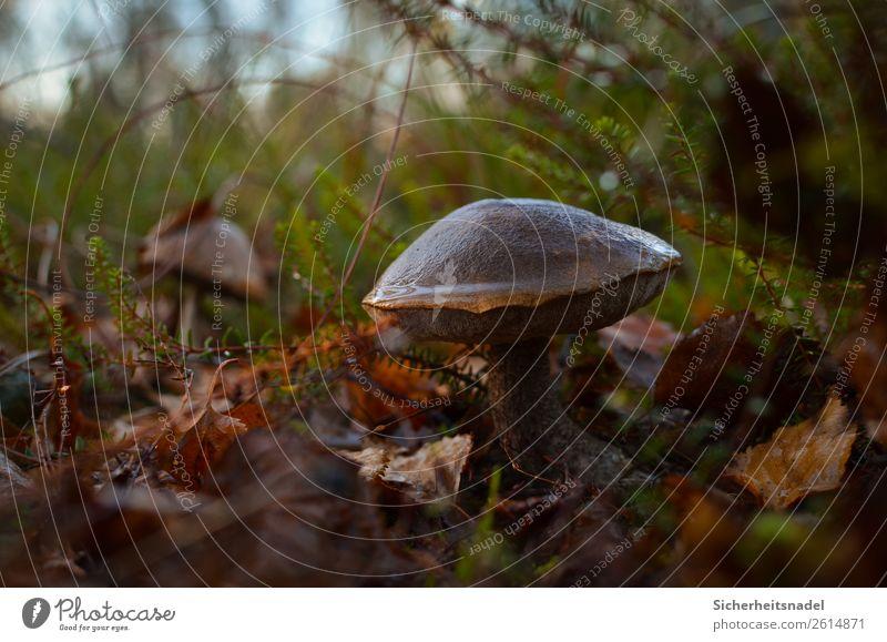 Birkenpilz Natur Herbst Pflanze Sträucher Moos Wildpflanze Pilz Wald Moor Sumpf ruhig feucht Blatt Sammeln Farbfoto Außenaufnahme Nahaufnahme Menschenleer