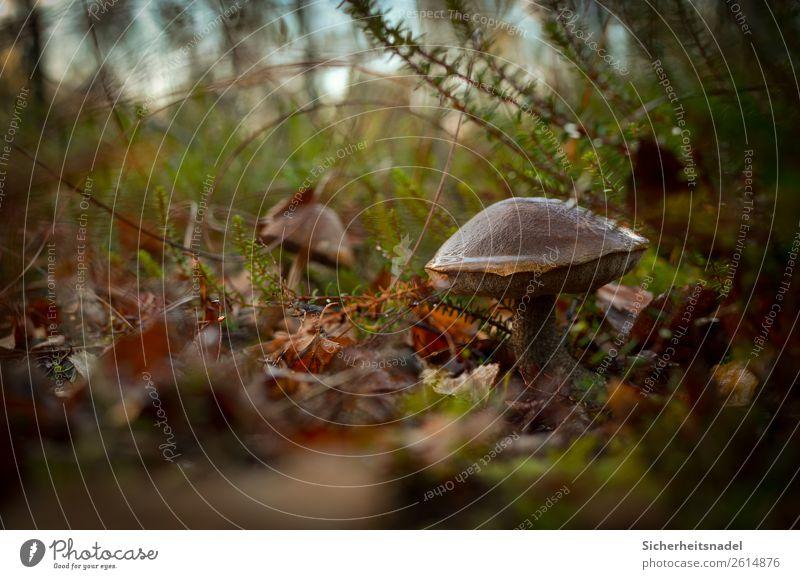 Birkenpilz II Natur Herbst Pflanze Moos Wildpflanze Pilz Wald ruhig Blatt feucht Farbfoto Außenaufnahme Nahaufnahme Menschenleer Textfreiraum links Tag Low Key