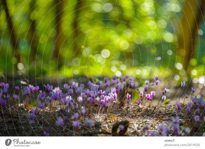 Alpenveilchen im Sonnenlicht Wald Kitsch natürlich wild braun grün rosa Natur Wildpflanze zart filigran winzig klein Menschenleer Textfreiraum oben