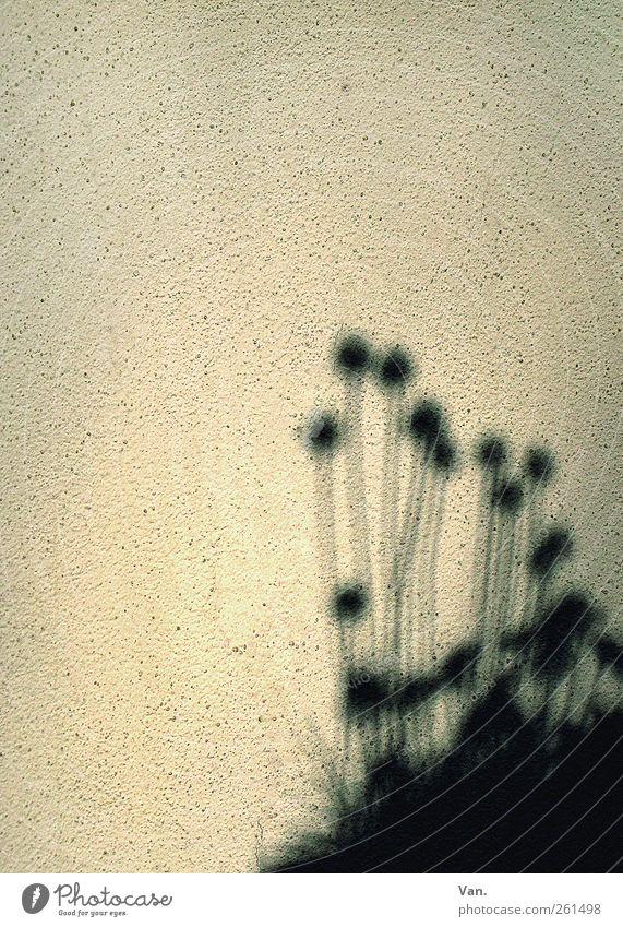 schattiges Plätzchen Pflanze Blume schwarz Haus Wand Blüte Mauer Stengel Putz Schnittlauch körnig Balkonpflanze