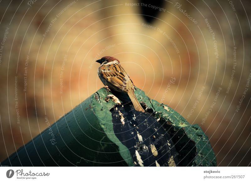 Spatz Tier Vogel Haussperling 1 authentisch einfach elegant braun mehrfarbig gelb gold grau grün Freude Tatkraft Weisheit Neugier goldgelb Tiefenschärfe