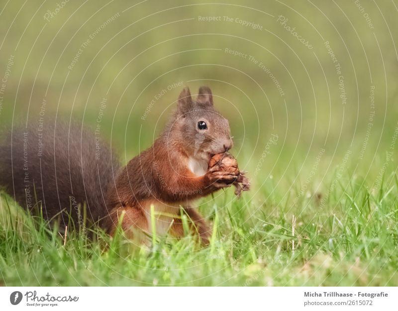 Eichhörnchen mit Walnuss Frucht Nuss Natur Tier Sonnenlicht Schönes Wetter Gras Wiese Wildtier Tiergesicht Fell Pfote Nagetiere Schwanz 1 Essen Fressen füttern