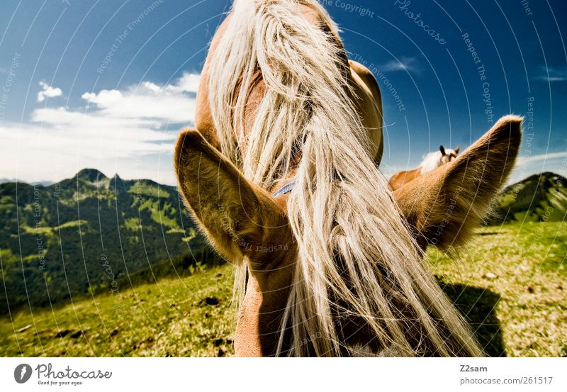 ohren auf! Himmel Natur Ferien & Urlaub & Reisen Tier ruhig Ferne Erholung Umwelt Wiese Landschaft Berge u. Gebirge Ausflug stehen niedlich Pferd Ohr