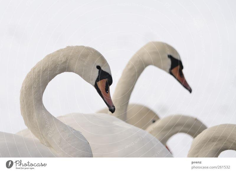 Wellen Natur Winter Schnee Tier Wildtier Vogel Schwan 2 Tiergruppe grau weiß Hals Kopf Wellenlinie Farbfoto Außenaufnahme Textfreiraum oben Tag