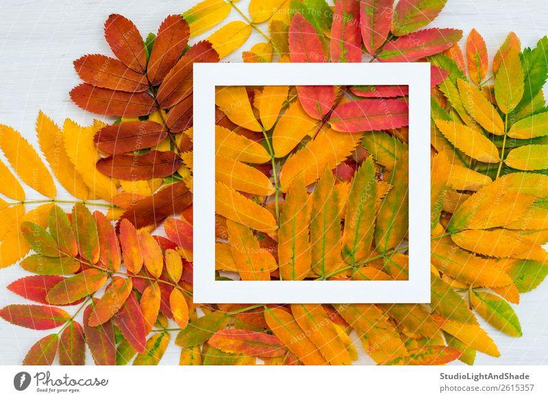 Weißer quadratischer Rahmen auf farbenfrohen Aschbeerblättern im Hintergrund Design schön harmonisch Freizeit & Hobby Garten Dekoration & Verzierung Kunst