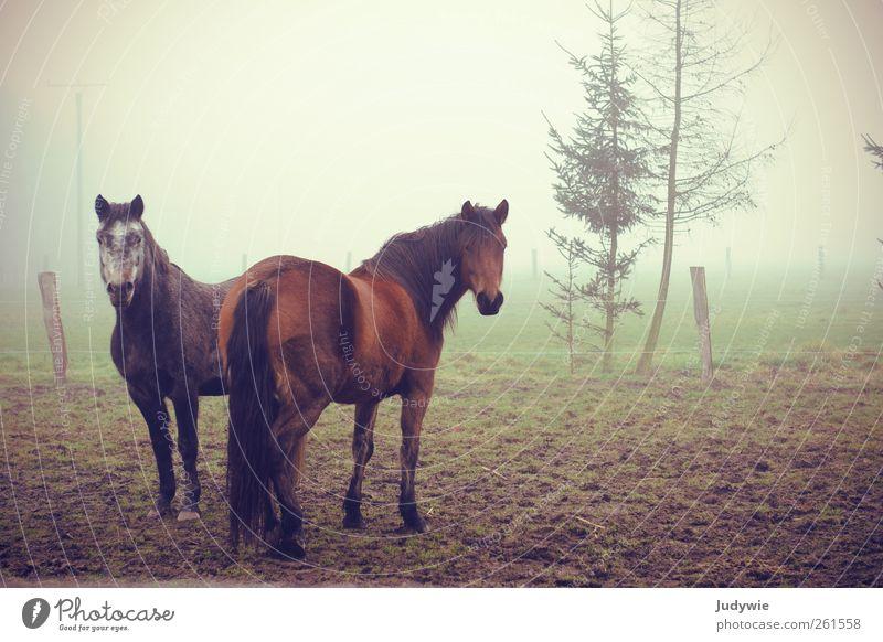 Nebelgrüße Natur Winter Tier ruhig Umwelt Herbst Traurigkeit Stimmung Freundschaft Zusammensein Feld warten Tierpaar Pferd Tiergruppe