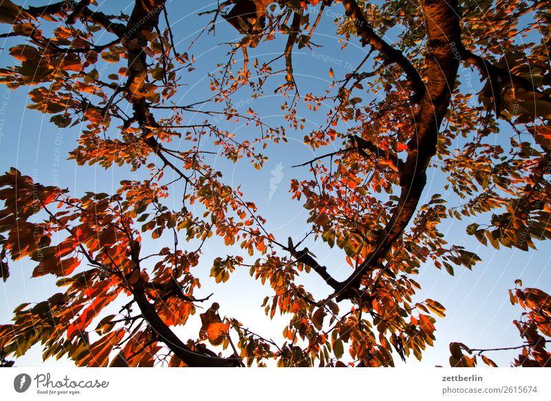 Kirschbaum im November Himmel Natur Himmel (Jenseits) Pflanze Baum Blatt ruhig Herbst Traurigkeit Garten Textfreiraum Ast Baumstamm Schrebergarten Zweig