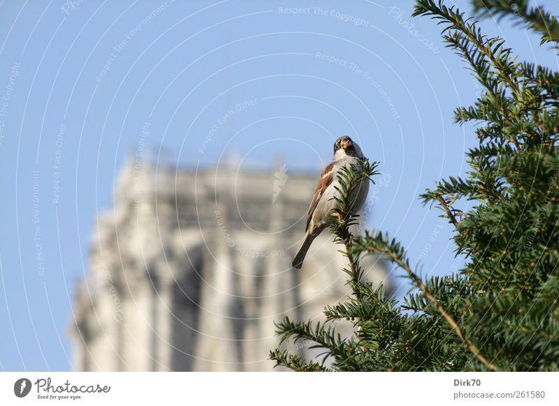 Der Spatz von Paris, männliche Version blau grün Baum Pflanze Tier Leben grau Park braun Vogel frei Kirche Turm beobachten Neugier Schönes Wetter