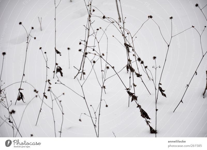 Eisblumen Umwelt Natur Pflanze Winter Klima Frost Schnee Blume Gras Stengel kalt grau schwarz weiß vertrocknet Tod dünn filigran ornamental schön Außenaufnahme