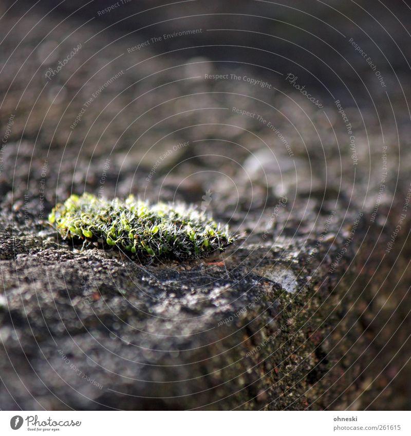 Moosrose Natur Pflanze Wand grau Stein Mauer Moos Überleben karg