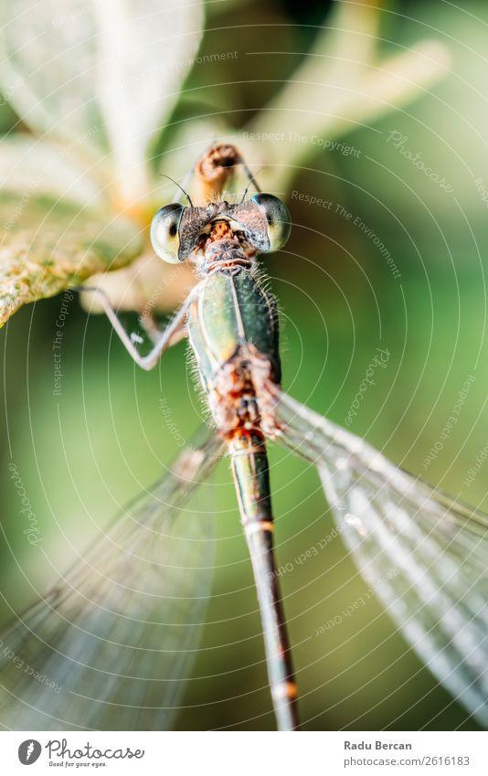 Libelle Makro-Porträt in der Natur Sommer Umwelt Pflanze Tier Blatt Garten Park Wildtier Fliege Tiergesicht Flügel 1 klein natürlich wild blau mehrfarbig gelb