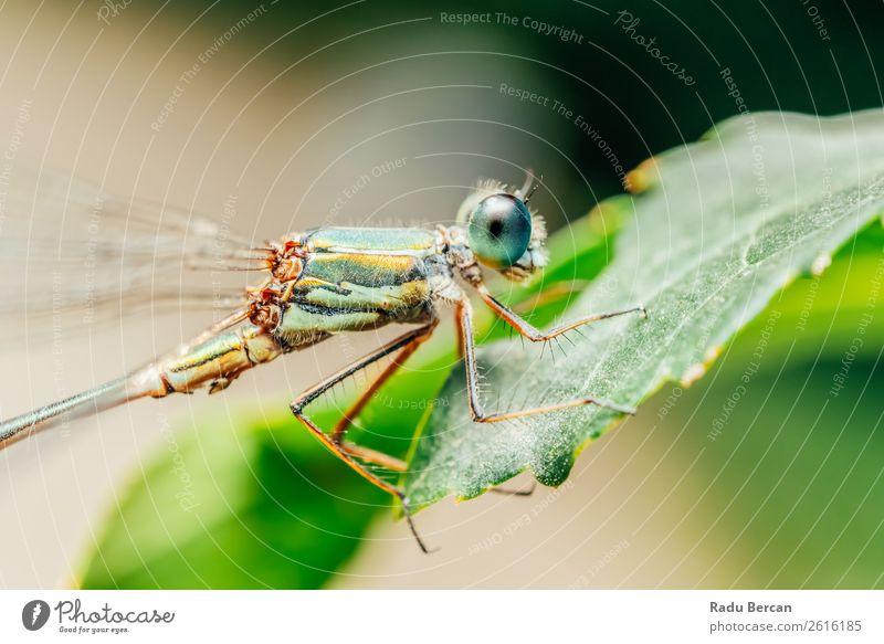 Libelle Makro-Porträt in der Natur Umwelt Pflanze Tier Sommer Blatt Garten Park Wildtier Fliege Tiergesicht Flügel 1 schön klein natürlich wild blau mehrfarbig