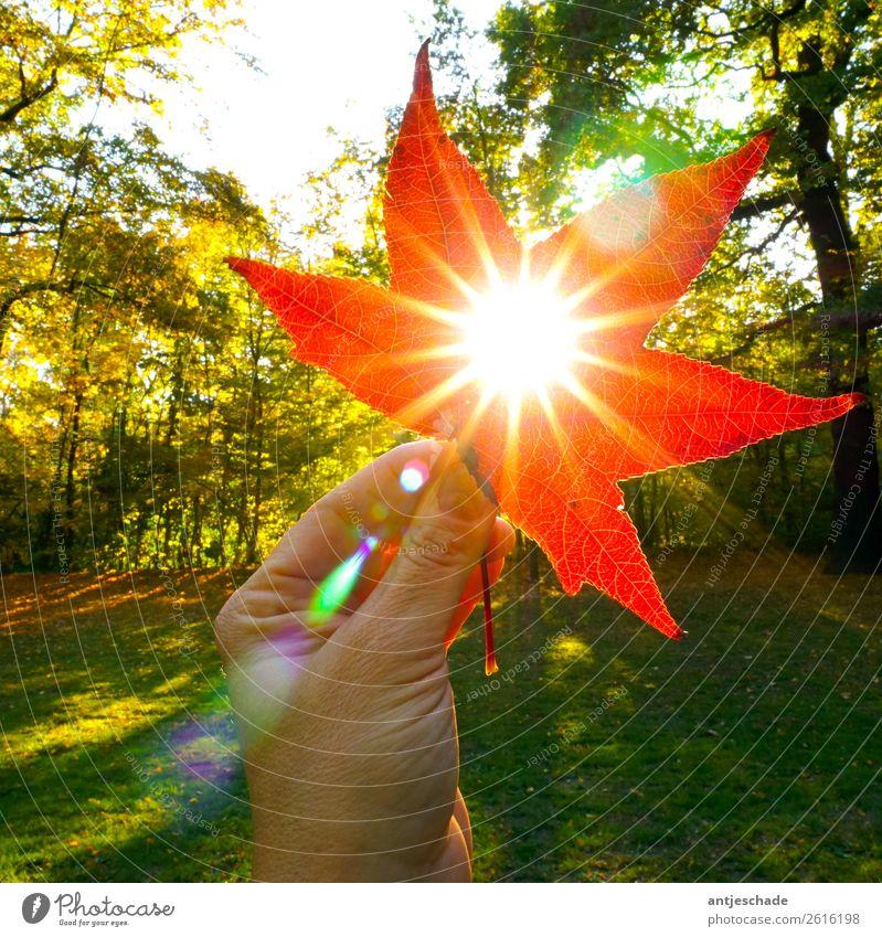 Herbstsonne Hand Natur Sonne Sonnenlicht Baum Blatt rot Umwelt Farbfoto Außenaufnahme Gegenlicht