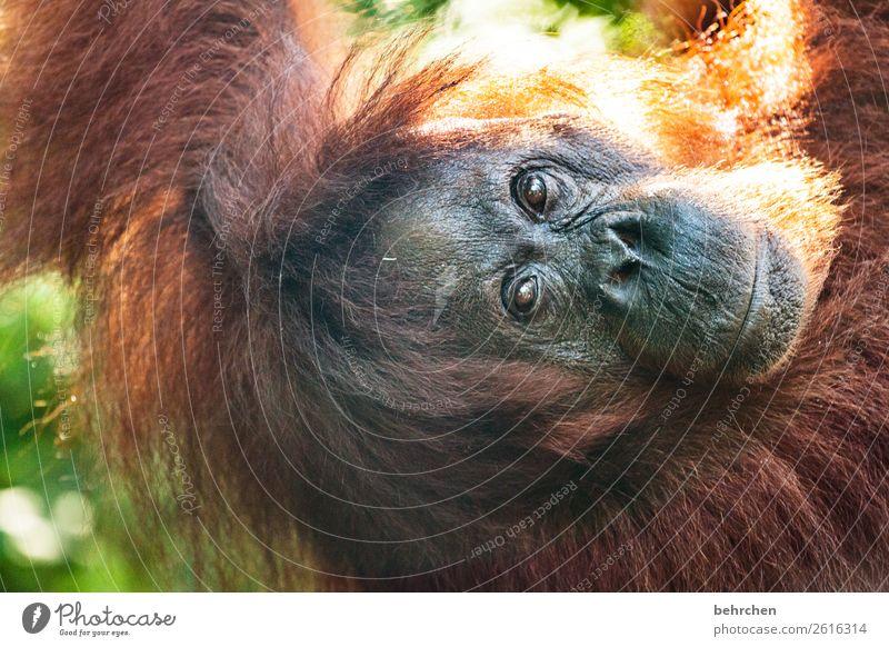 nachhaltigkeit Ferien & Urlaub & Reisen Tourismus Ausflug Abenteuer Ferne Freiheit Natur Urwald Wildtier Tiergesicht Fell Affen Menschenaffen Orang-Utan 1