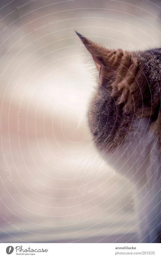 Sehnsucht Fenster Tier Haustier Katze Fell Ohr Schnurrhaar kuschlig weich braun Stimmung Fernweh ruhig warten Blick samtig Farbfoto Gedeckte Farben
