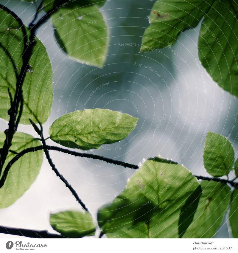 Fagus Natur Pflanze Sommer Baum Blatt Buche Buchenblatt Park Wachstum grün Zweige u. Äste Unschärfe Rahmen durchscheinend Leben Farbfoto Außenaufnahme